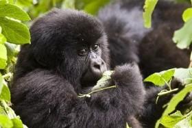 Uganda és Ruanda: A hegyi gorillák nyomában