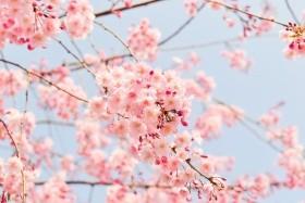 Sakura - Japán körutazás cseresznyefavirágzáskor (2019. március 21.; 23.; 25.; 27.;)