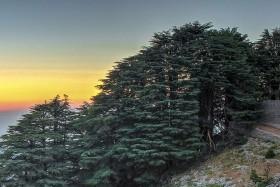 Mediterrán Libanon- PÓTCSOPORT