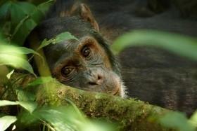 Uganda varázsa-Csimpánzok és hegyi gorillák világa
