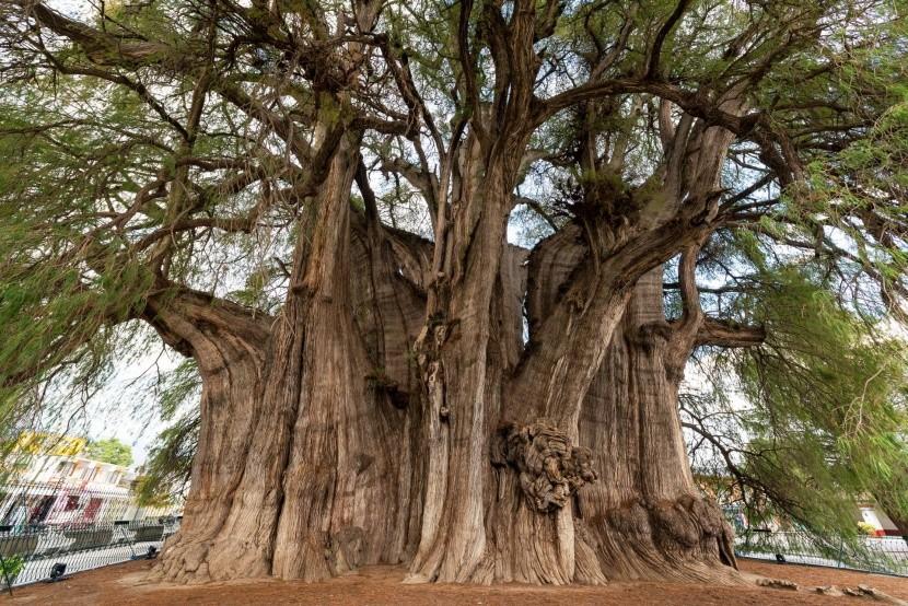 Arbol del Tule legvastagabb törzsű fa Mexikó