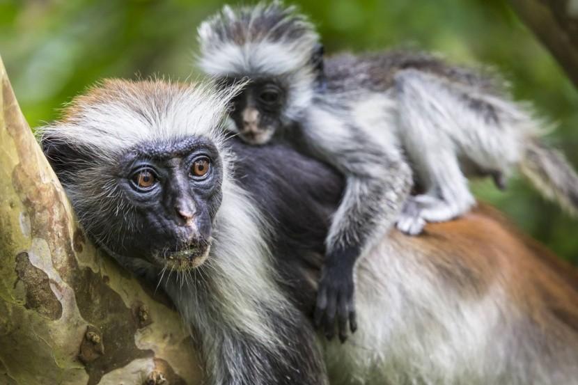 Zanzibár tipikus lakói, a majmok