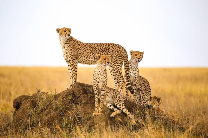 Gepárdcsalád a Serengeti Nemzeti Parkban