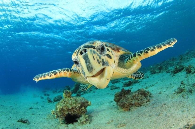 Találkozás egy teknősbékával a Vörös-tengerbe
