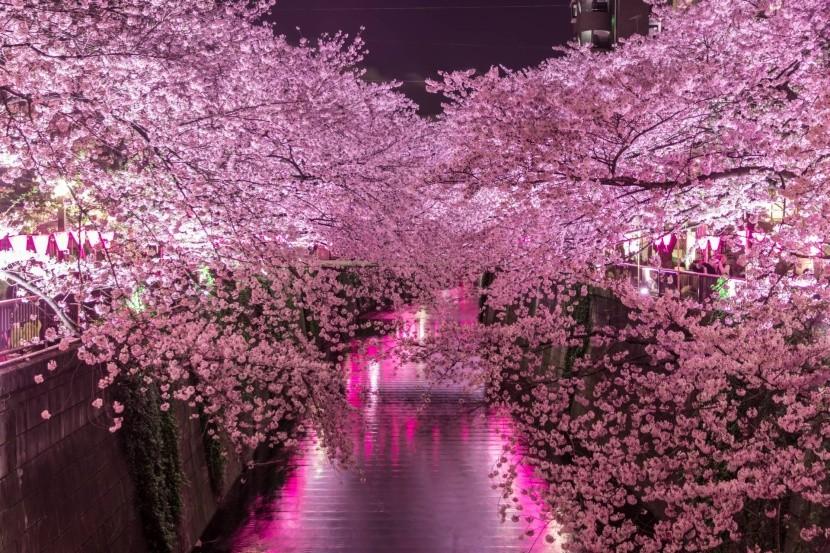 Meguro-menti cseresznyefák