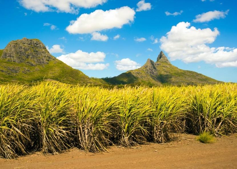 Cukornád ültetvény Mauritiuson
