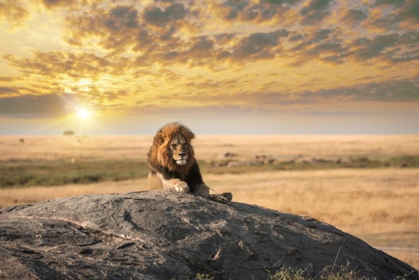 Oroszlán, az állatok királya