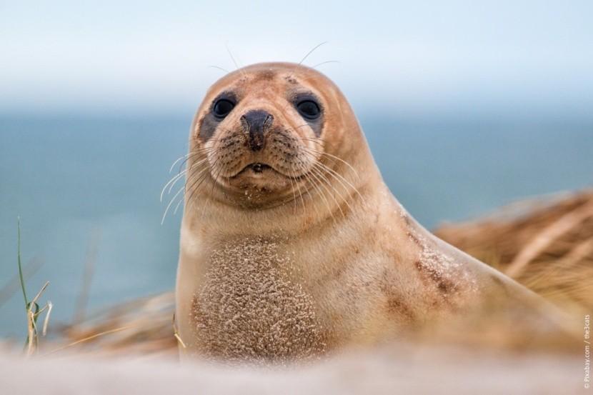 Fóka Helgoland szigetén