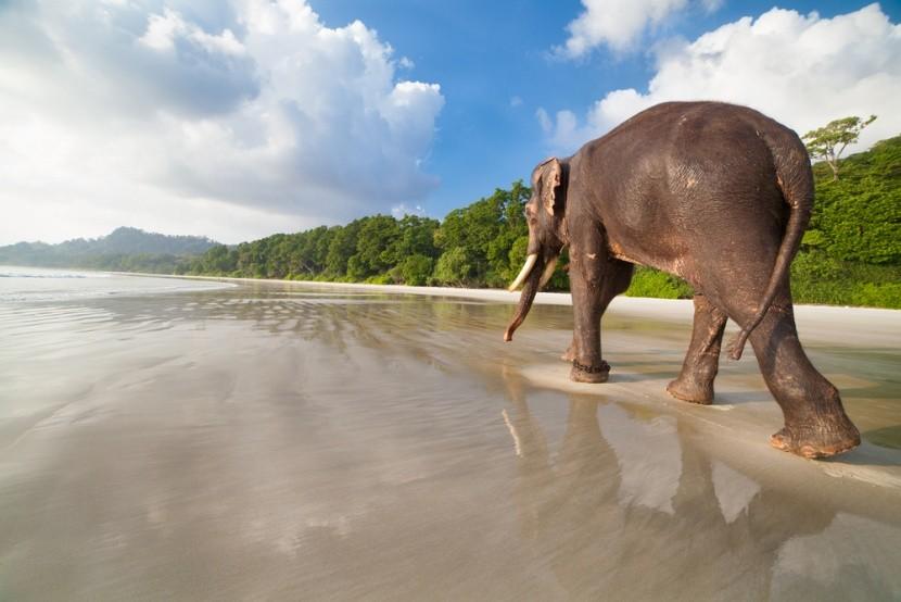 Elefánt az Andamán tengerparton