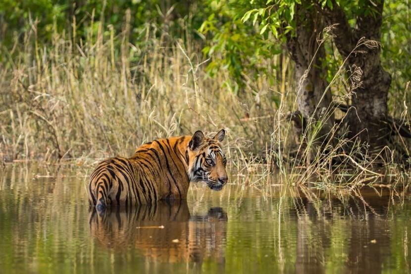 Bandhavgarh nemzeti park Indiában